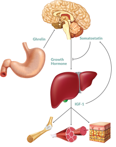 relationship between leptin and ghrelin supplement